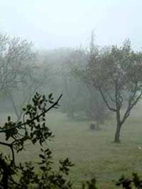 Provence - morning mist on olive grove